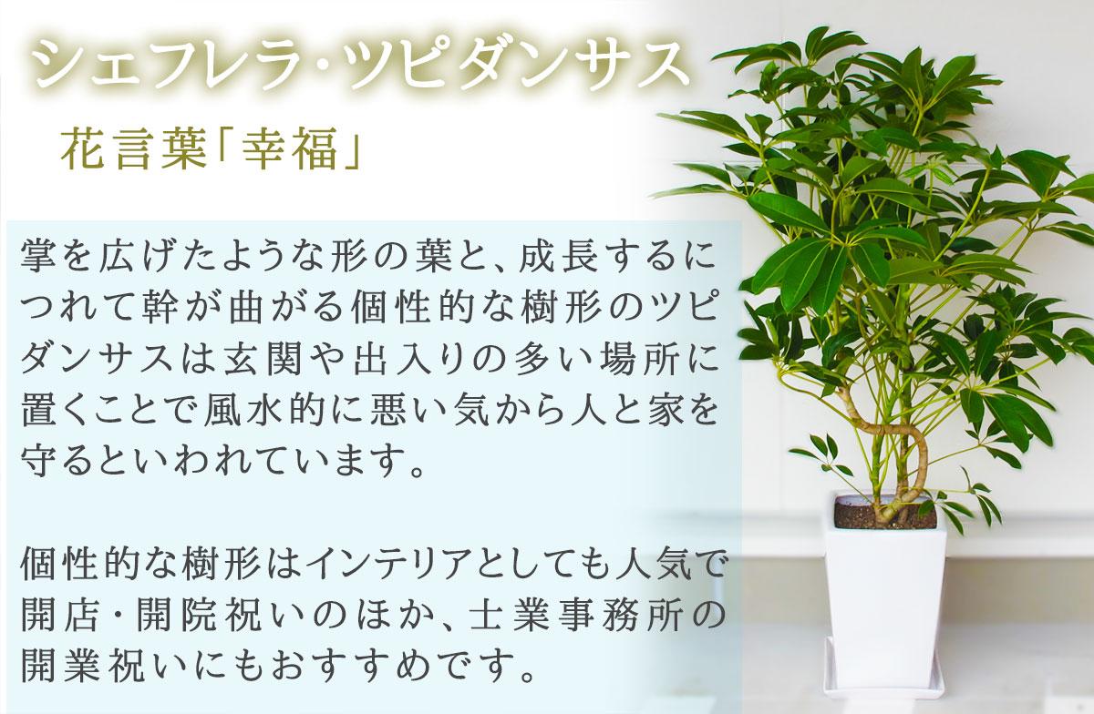 【おしゃれな鉢カバー付き】観葉植物【シェフレラ・ツピタンサス】 20000円