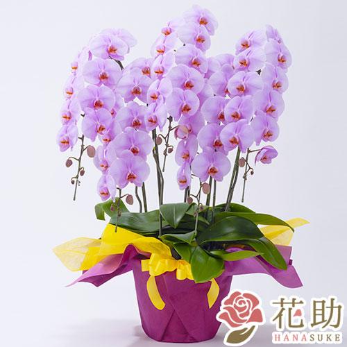 胡蝶蘭 5本立ち 50輪以上 【ピンク】