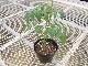 【てしまの苗】 ミニトマト苗 プレミアムルビー 断根接木苗 9cmポット 野菜苗 培土 種 堆肥 【人気】