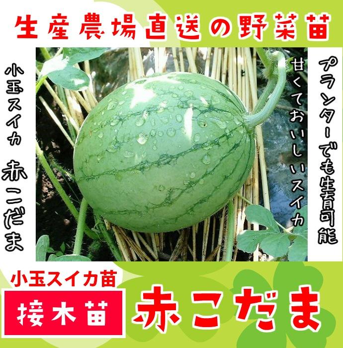 【てしまの苗】 小玉スイカ 赤こだま 断根接木苗 9cmポット 野菜苗 培土 種 堆肥 【人気】
