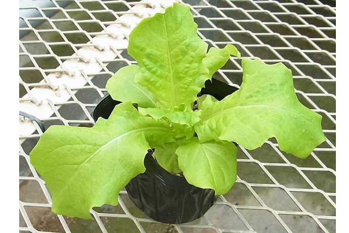 【てしまの苗】 リーフレタス苗 なんそうべに 9cmポット 野菜苗 培土 種 堆肥 【人気】 葉菜苗 【人気】