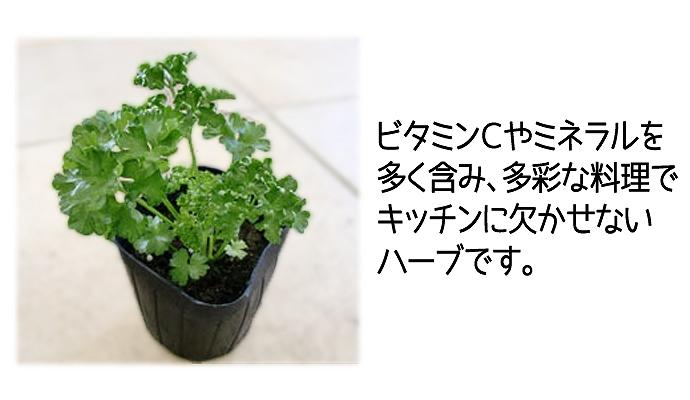 【てしまの苗】 パセリ苗 パラマウント  9cmポット 野菜苗 培土 種 堆肥 【人気】 葉菜苗 【人気】