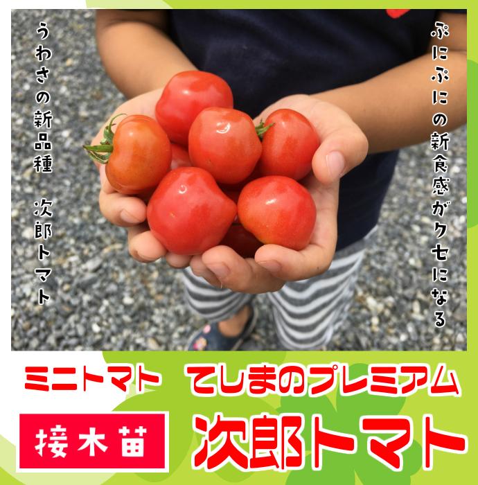 【てしまの苗】 ミニトマト苗 次郎トマト 断根接木苗 9cmポット 野菜苗 培土 種 堆肥 【人気】