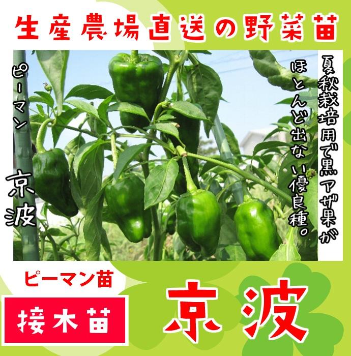 【てしまの苗】  ピーマン 京波 断根接木苗 9cmポット 野菜苗 培土 種 堆肥 【人気】