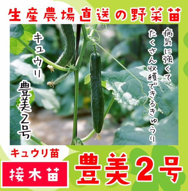 【てしまの苗】 キュウリ 豊美2号 断根接木苗 9cmポット 野菜苗 培土 種 堆肥 【人気】
