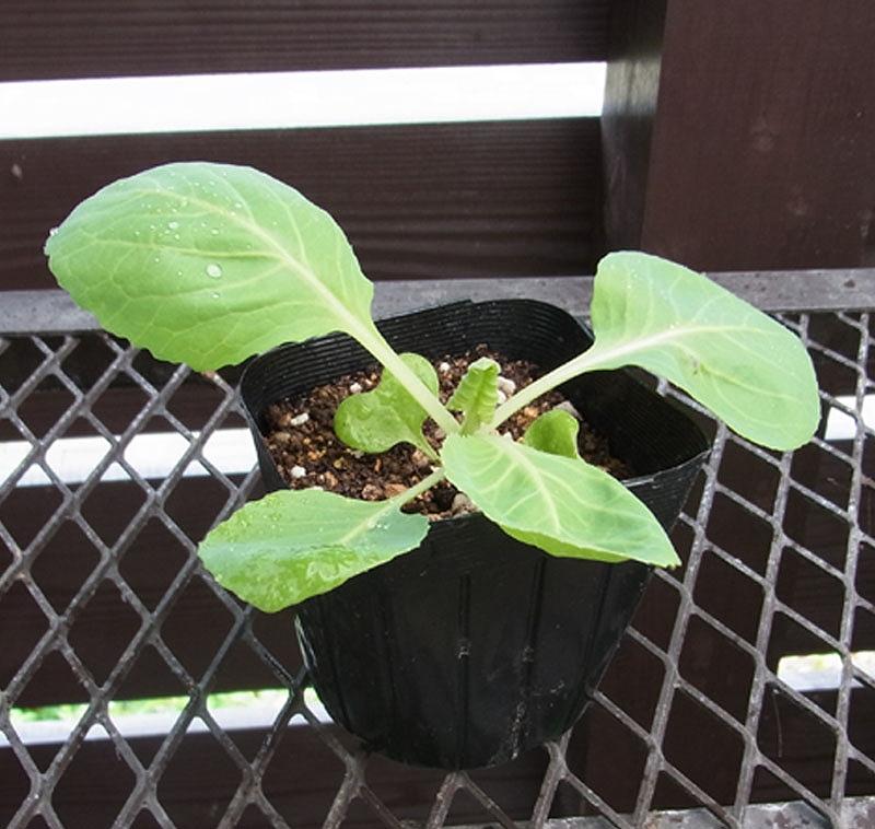 【てしまの苗】 キャベツ苗 アーリータイム 9cmポット 野菜苗 培土 種 堆肥 【人気】 葉菜苗 【人気】