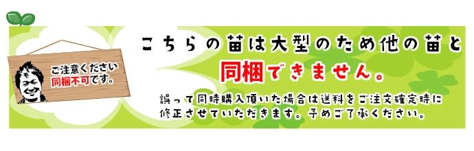 【てしまの苗】 ブルーベリー苗 ミスティ 2年育成 1株 【人気】