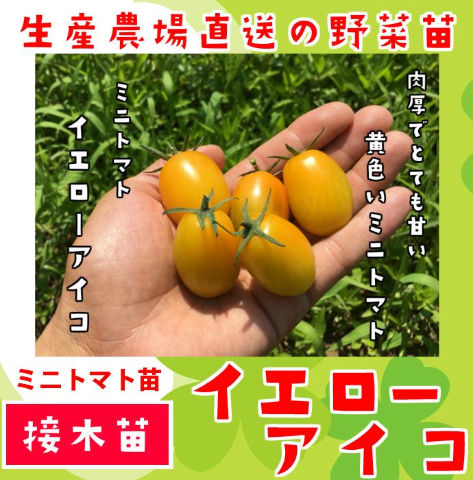 【てしまの苗】 ミニトマト イエローアイコ 断根接木苗 9cmポット 野菜苗 培土 種 堆肥 【人気】