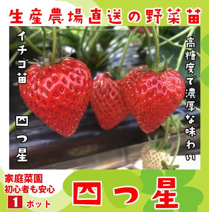 【てしまの苗】 イチゴ苗 四つ星 よつぼし 9cmポット 野菜苗 培土 種 堆肥 【人気】