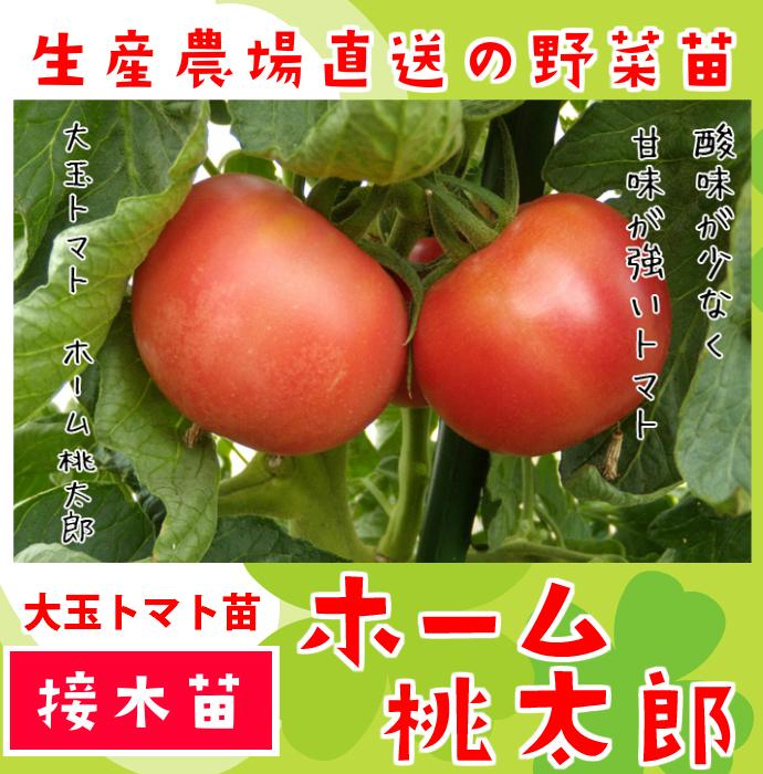 【てしまの苗】 大玉トマト ホーム桃太郎 断根接木苗 9cmポット 野菜苗 培土 種 堆肥 【人気】