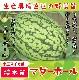 【てしまの苗】  楕円スイカ マダーボール 断根接木苗 9cmポット 野菜苗 培土 種 堆肥 【人気】