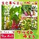 【てしまの苗】 フダンソウ スイスチャード ブライトライト  9cmポット 野菜苗 培土 種 堆肥 【人気】  葉菜苗 【人気】