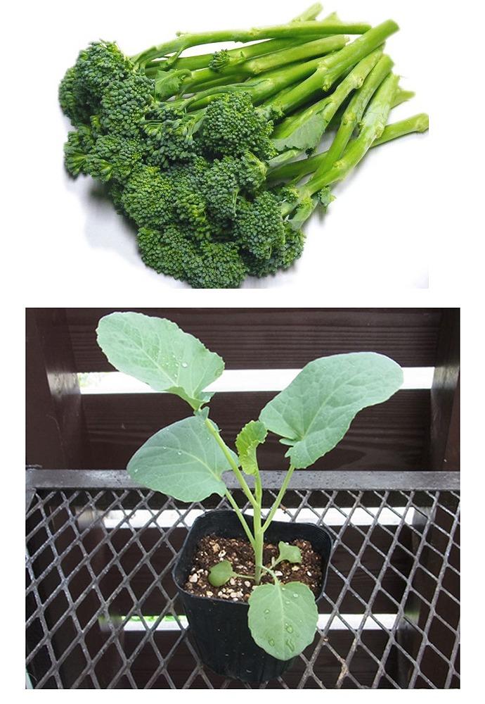 【てしまの苗】 茎ブロッコリー苗 スティックセニョール 4株入りパック 葉菜苗 【人気】