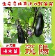 【てしまの苗】  長ナス 筑陽 断根接木苗 9cmポット 野菜苗 培土 種 堆肥 【人気】