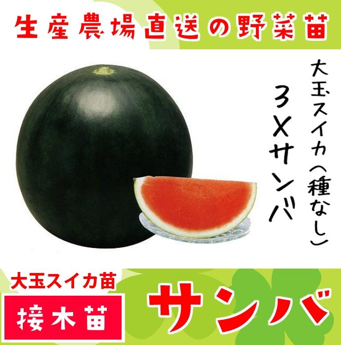 【てしまの苗】 スイカ苗 3×サンバ  断根接木苗 9�ポット 【人気】