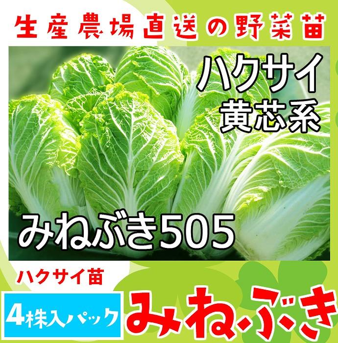【てしまの苗】 ハクサイ苗 みねぶき505  4株入りパック 白菜 葉菜苗 【人気】