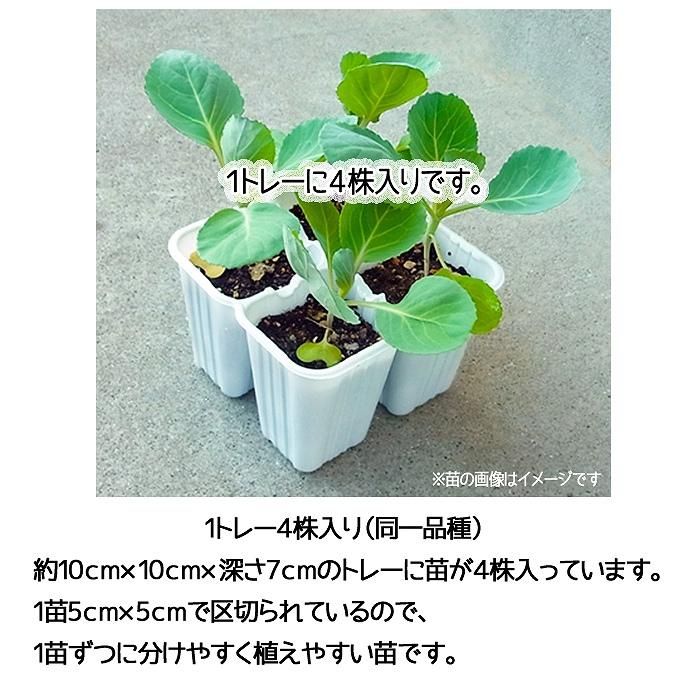 【てしまの苗】 ブロッコリー苗 緑嶺  4株入りパック  葉菜苗 【人気】