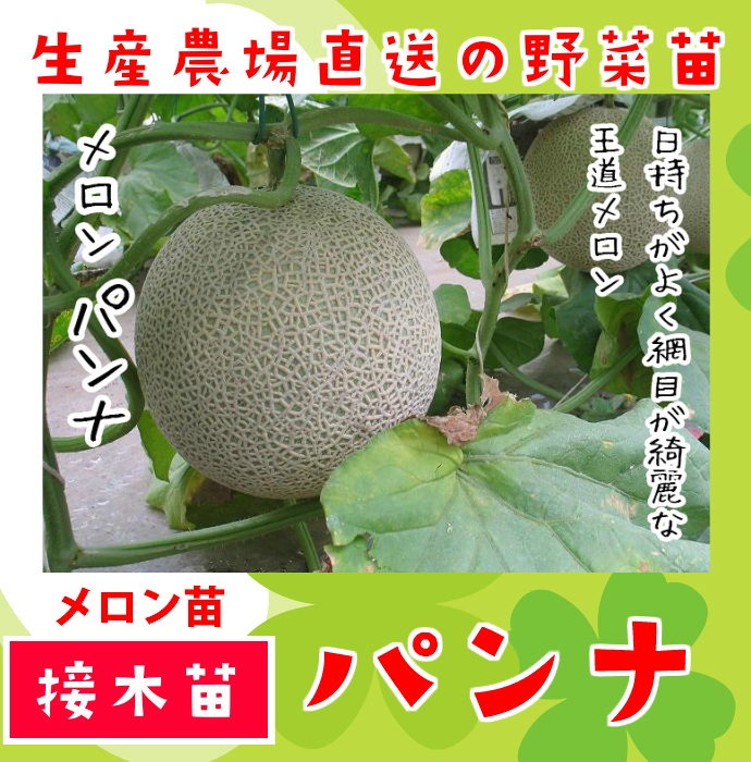 【てしまの苗】 メロン パンナ 断根接木苗 9cmポット 野菜苗 培土 種 堆肥 【人気】