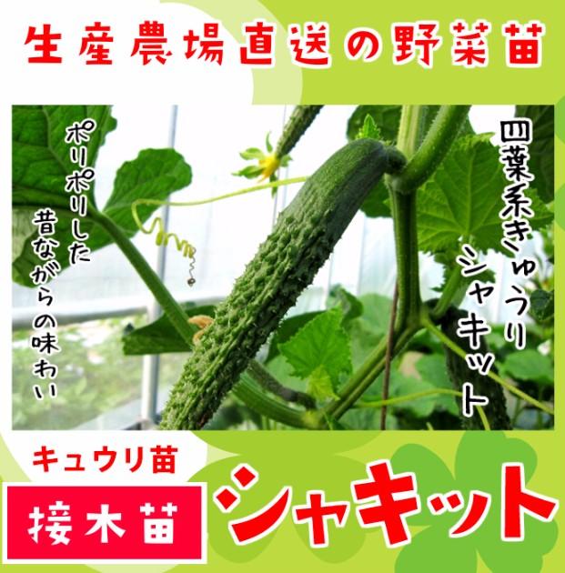 【てしまの苗】 キュウリ シャキット 断根接木苗 9cmポット 野菜苗 培土 種 堆肥 【人気】