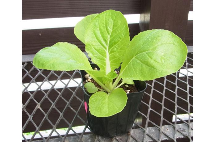【品種指定なし】ハクサイ 早生 実生苗 9cmポット 野菜苗 培土 種 堆肥 【人気】 白菜 【人気】