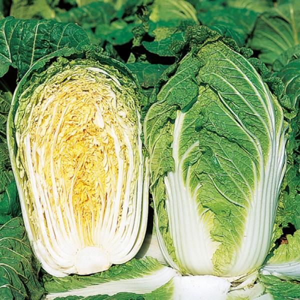 【品種指定なし】ハクサイ 中生 実生苗 9cmポット 野菜苗 培土 種 堆肥 【人気】 白菜 【人気】