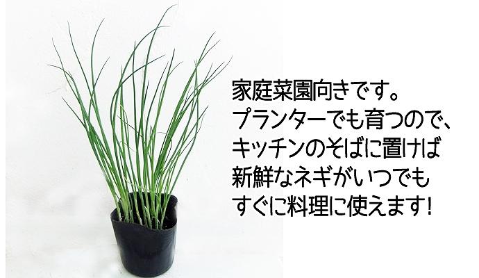 【てしまの苗】 ネギ苗 九条細ネギ 4株入りパック 葉菜苗 【人気】