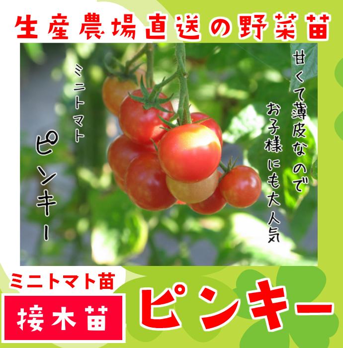 【てしまの苗】 ミニトマト ピンキー 断根接木苗 9cmポット 野菜苗 培土 種 堆肥 【人気】