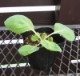 【品種指定なし】キャベツ 中生 実生苗 9cmポット 野菜苗 培土 種 堆肥 【人気】  【人気】