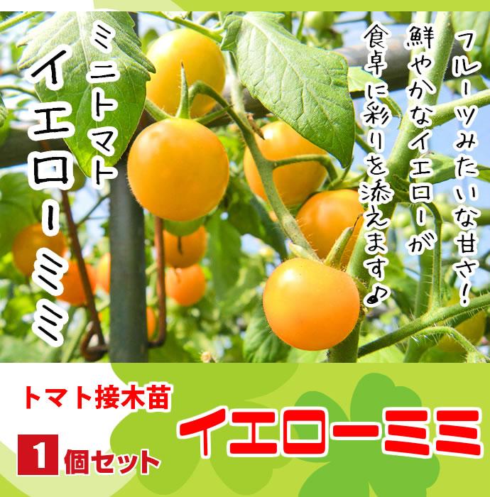【てしまの苗】 ミニトマト苗 イエローミミ 断根接木苗 9cmポット 野菜苗 培土 種 堆肥 【人気】