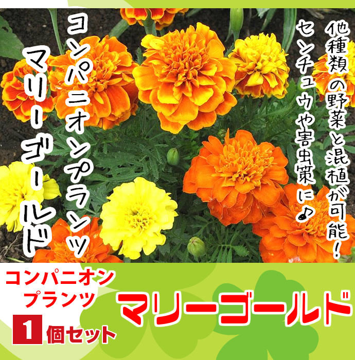 てしまの苗 コンパニオンプランツ マリーゴールド 実生苗 9cmポット 野菜苗 培土 種 堆肥 人気 すべての商品 てしまの苗屋 本店