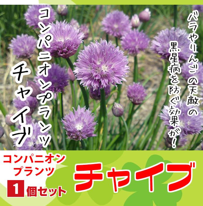 【てしまの苗】 コンパニオンプランツ チャイブ 実生苗 9cmポット 野菜苗 培土 種 堆肥 【人気】