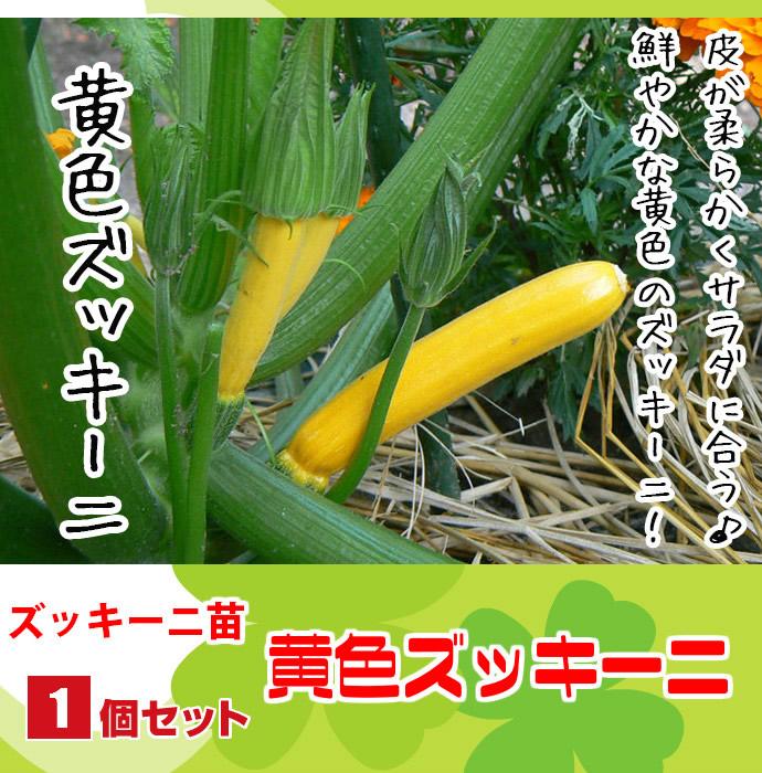 【てしまの苗】 ズッキーニ苗 黄色ズッキーニ 実生苗 9cmポット 野菜苗 培土 種 堆肥 【人気】