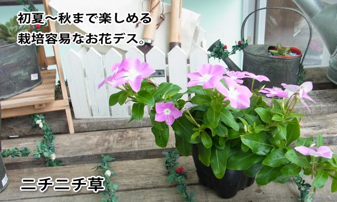 ニチニチ草 ピンク×白