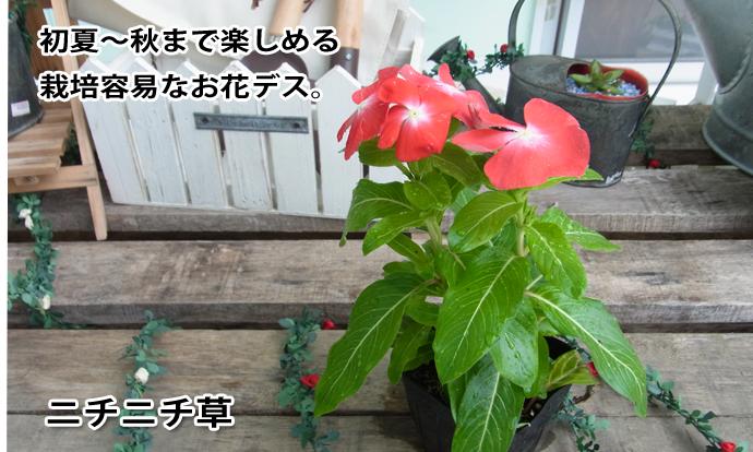 ニチニチ草 ローズ