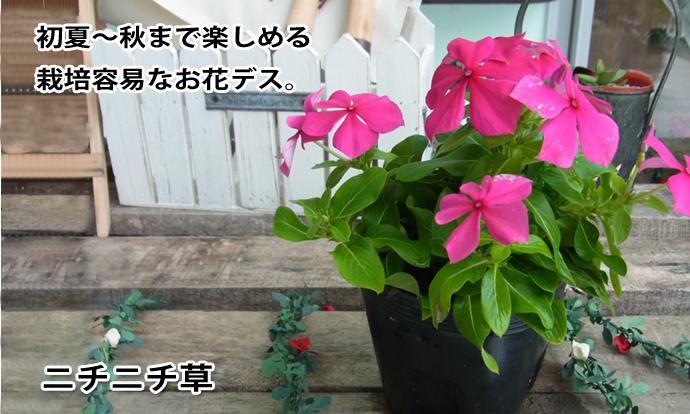ニチニチ草 ラズベリー