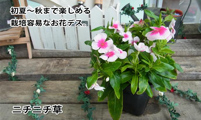 ニチニチ草 ピンク×濃ピンク