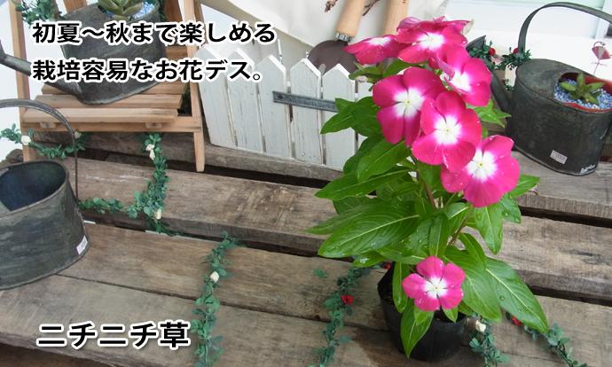 ニチニチ草 ラズベリー×白