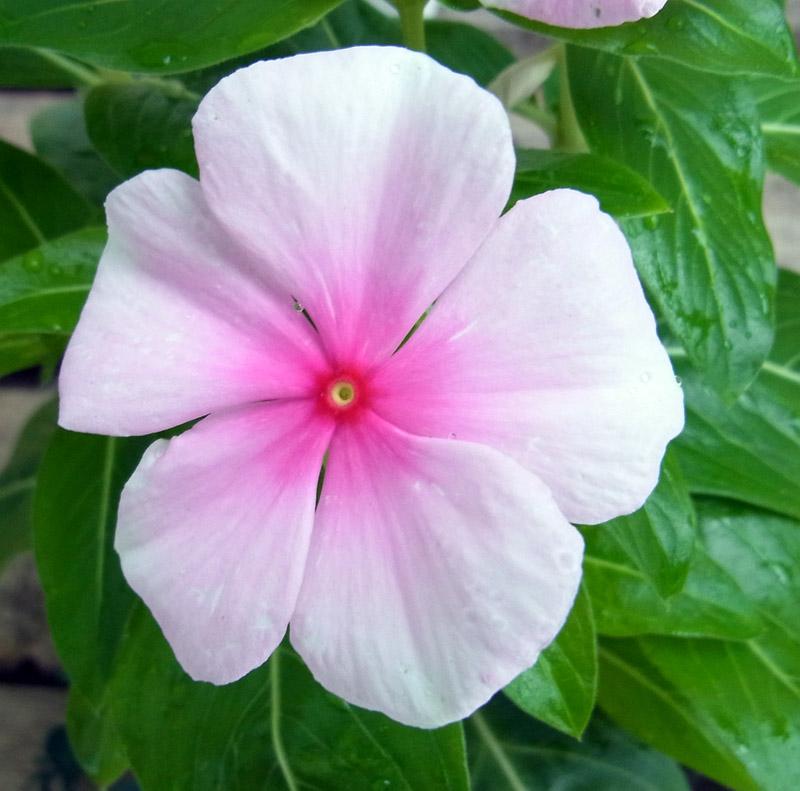 ニチニチ草 ピンク