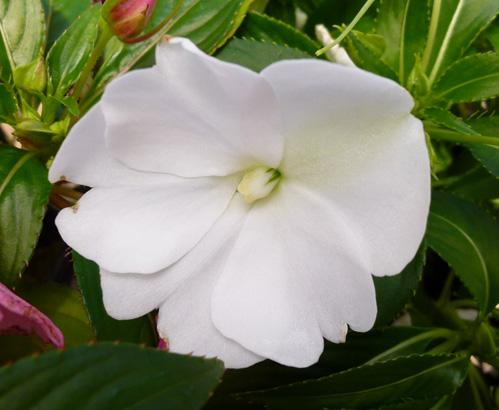 ニューギニアインパチェンス ホワイト