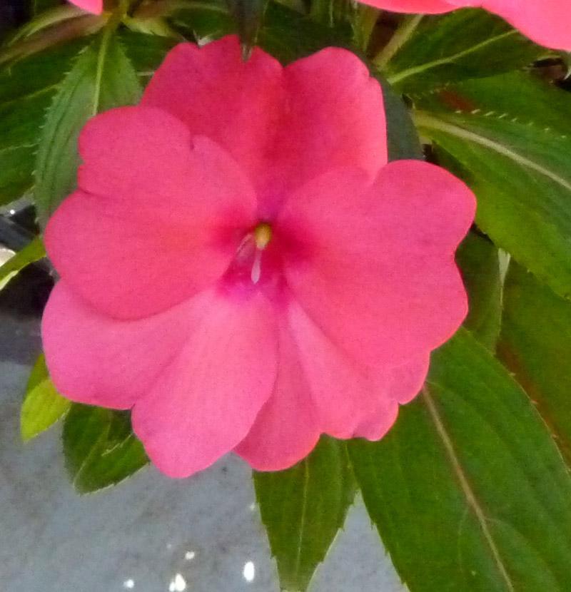 ニューギニアインパチェンス ピンク