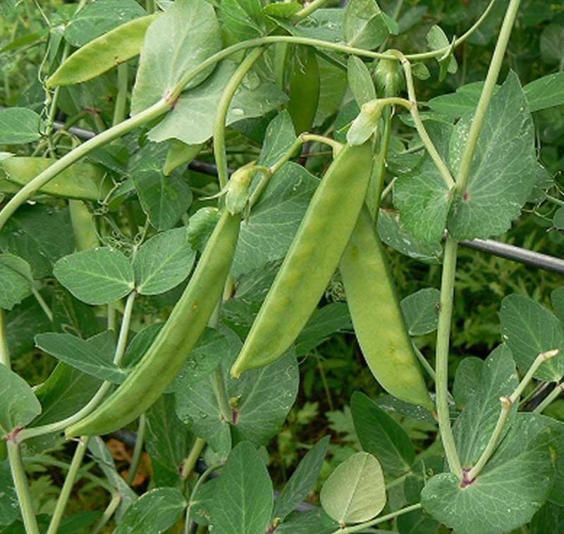 エンドウ苗 あずみ野30日絹さや 9cmポット 野菜苗 培土 種 堆肥 【人気】