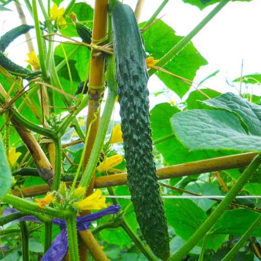 【予約】【品種指定なし】昔ながらのキュウリ(四葉系) 断根接木苗 9cmポット 野菜苗 培土 種 堆肥 【人気】