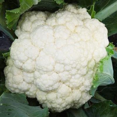 【てしまの苗】 カリフラワー苗 ブライダル 9cmポット 野菜苗 培土 種 堆肥 【人気】 葉菜苗 【人気】