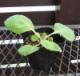 【品種指定なし】キャベツ 晩生 実生苗 9cmポット 野菜苗 培土 種 堆肥 【人気】  【人気】