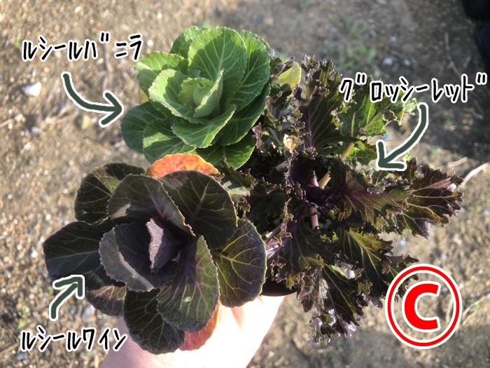 【てしまの苗】ハボタン苗 葉牡丹  3色植えセット 9cmポット 【人気】