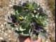 【てしまの苗】ハボタン苗 葉牡丹 9色植えセット 12cmポット 【人気】