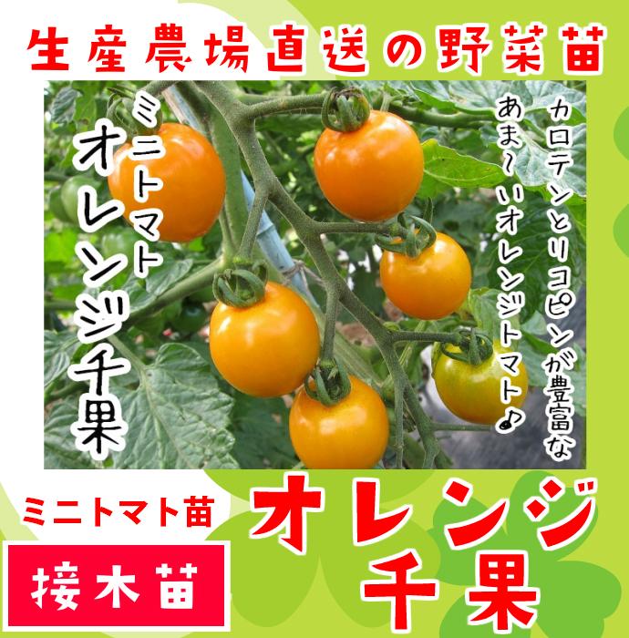 【てしまの苗】 ミニトマト苗 オレンジ千果 断根接木苗 9cmポット 野菜苗 培土 種 堆肥 【人気】