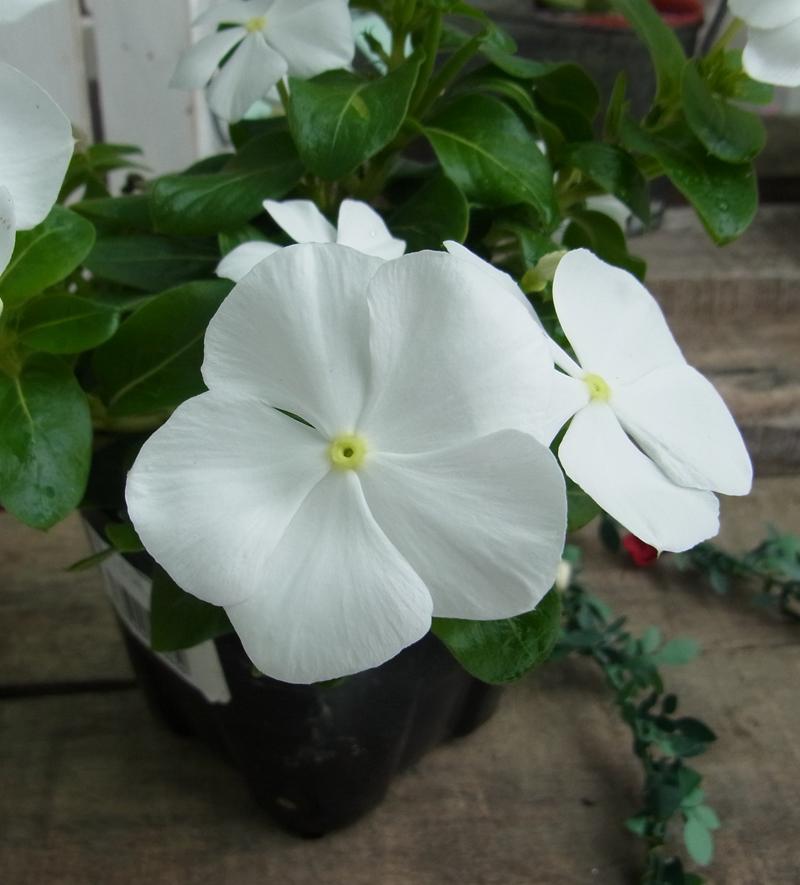 ニチニチ草  ホワイト