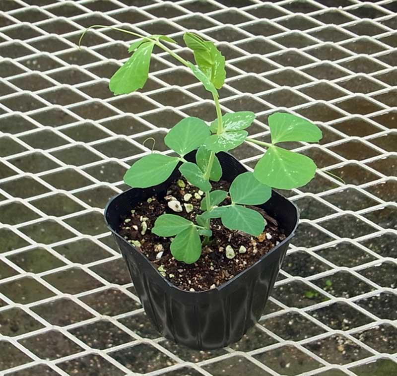 エンドウ苗 スナックエンドウ つるなしスナック2号 9cmポット 野菜苗 培土 種 堆肥 【人気】
