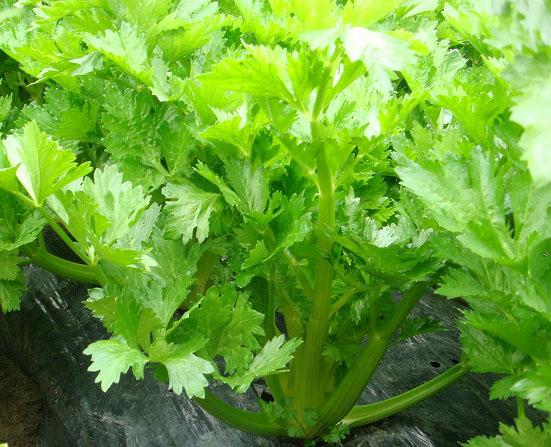 【てしまの苗】 セロリ苗 コーネル 9cmポット 野菜苗 培土 種 堆肥 【人気】 葉菜苗 【人気】